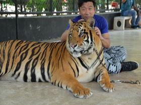記念撮影&散歩出来る虎の動物園!タイ「シラチャータイガーズー」