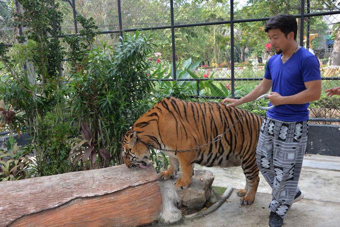 虎との記念撮影&散歩