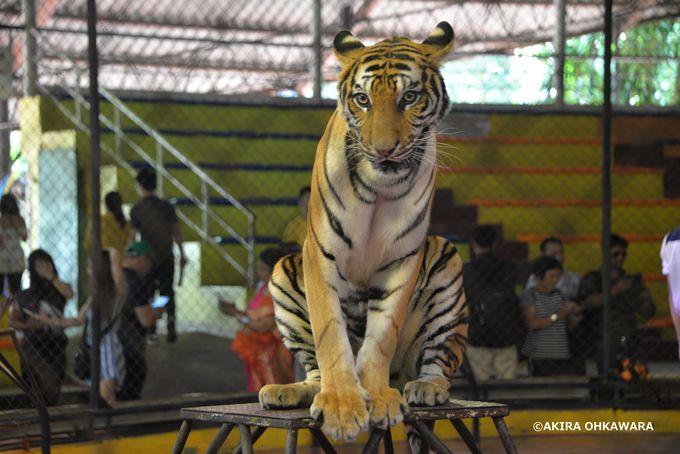 虎のショーと射撃