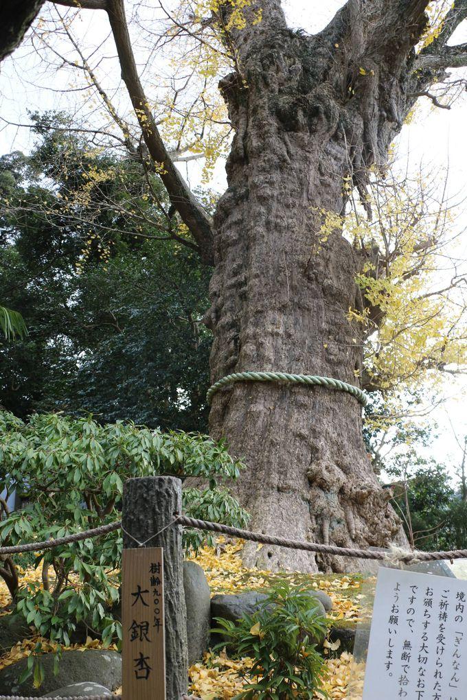 現在では、鎌倉で一番古い由緒ある大銀杏