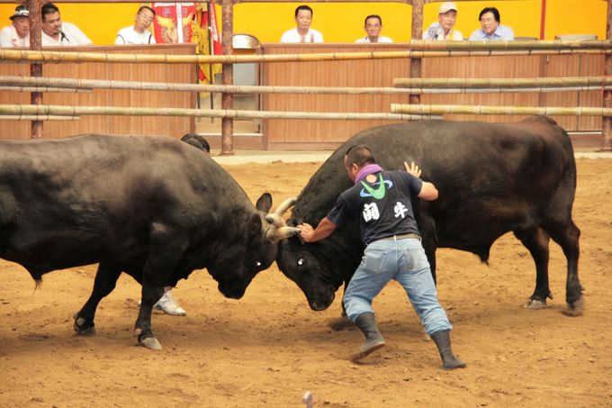 宇和島闘牛の迫力を堪能する
