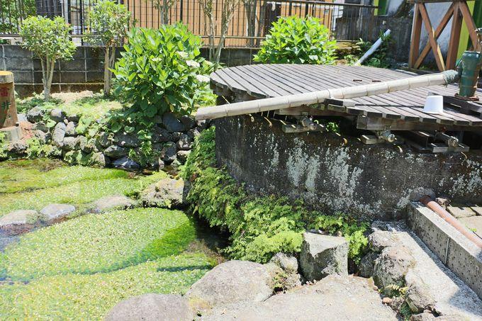 三島梅花藻再生の公園「三島梅花藻の里」へ