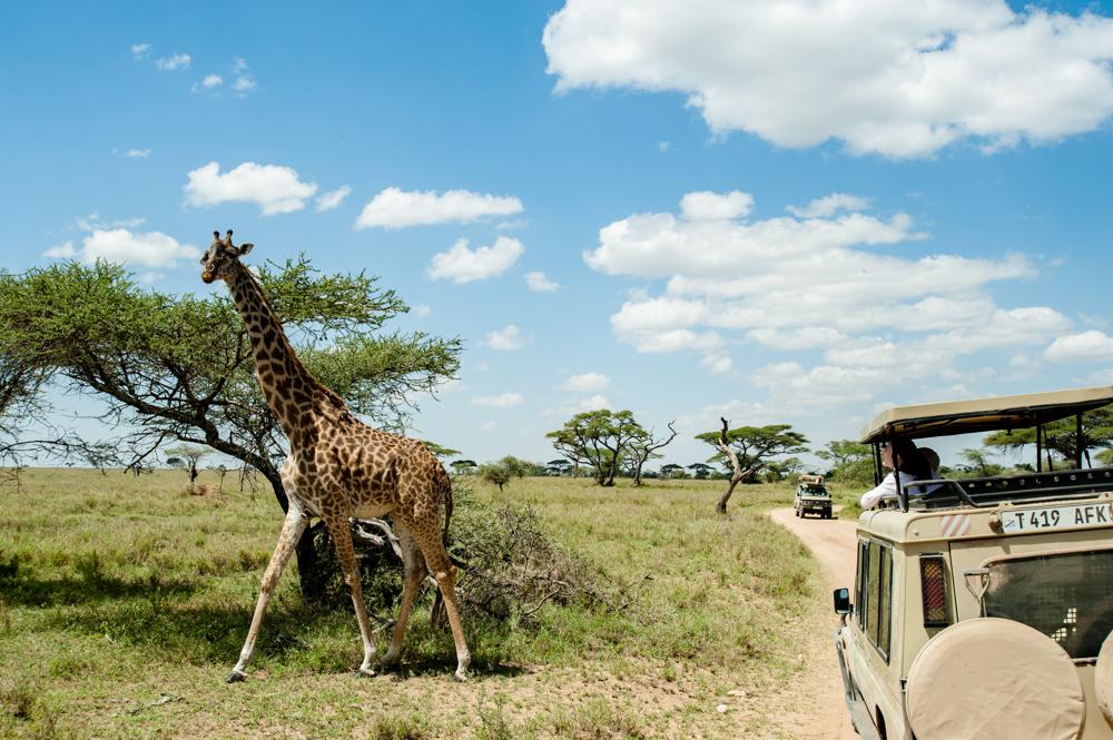 迫力の野生動物!タンザニア「セレンゲティ&ンゴロゴロ」のサファリ