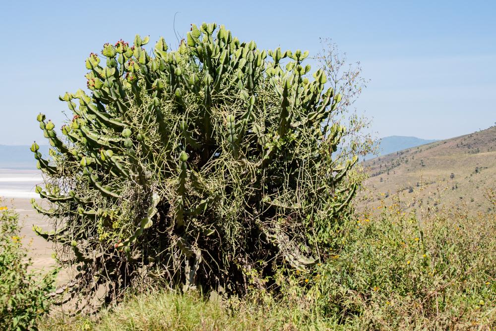 サファリらしいユニークな植物や、マサイ族の暮らしも必見