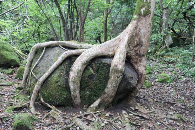 大自然の力を感じるパワースポット!岩をつかむ樹
