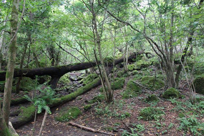 21世紀に残したい日本の自然 黒岳原生林