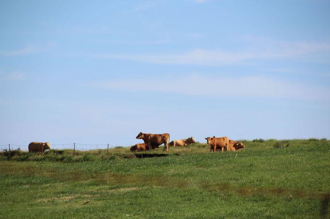 ミルクロード周辺はのどかな牧場