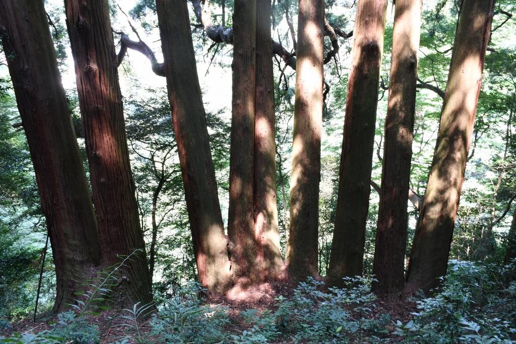 御神水が出る杉の木や七本杉のある天岩戸東本宮