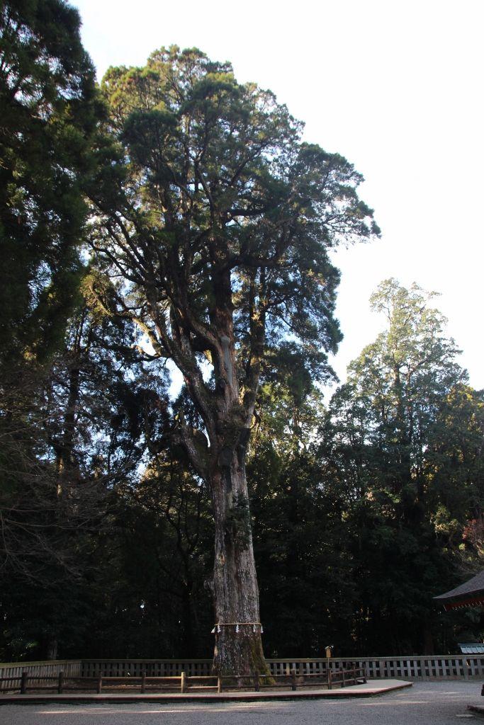 木の枝に神官が!?ご神木に現れる烏帽子