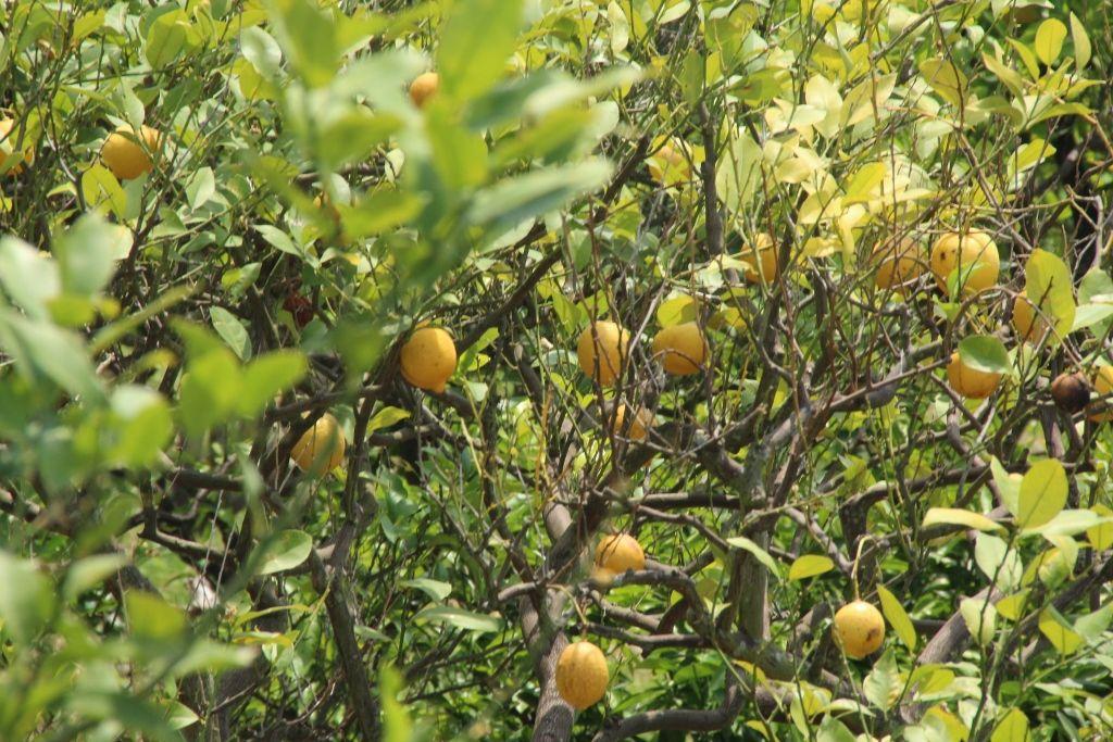 広島産レモンをおうちで堪能しよう