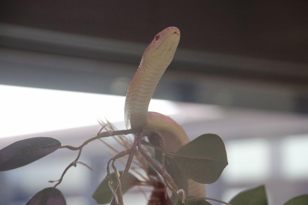 白蛇の全てがわかる「岩国シロヘビの館」