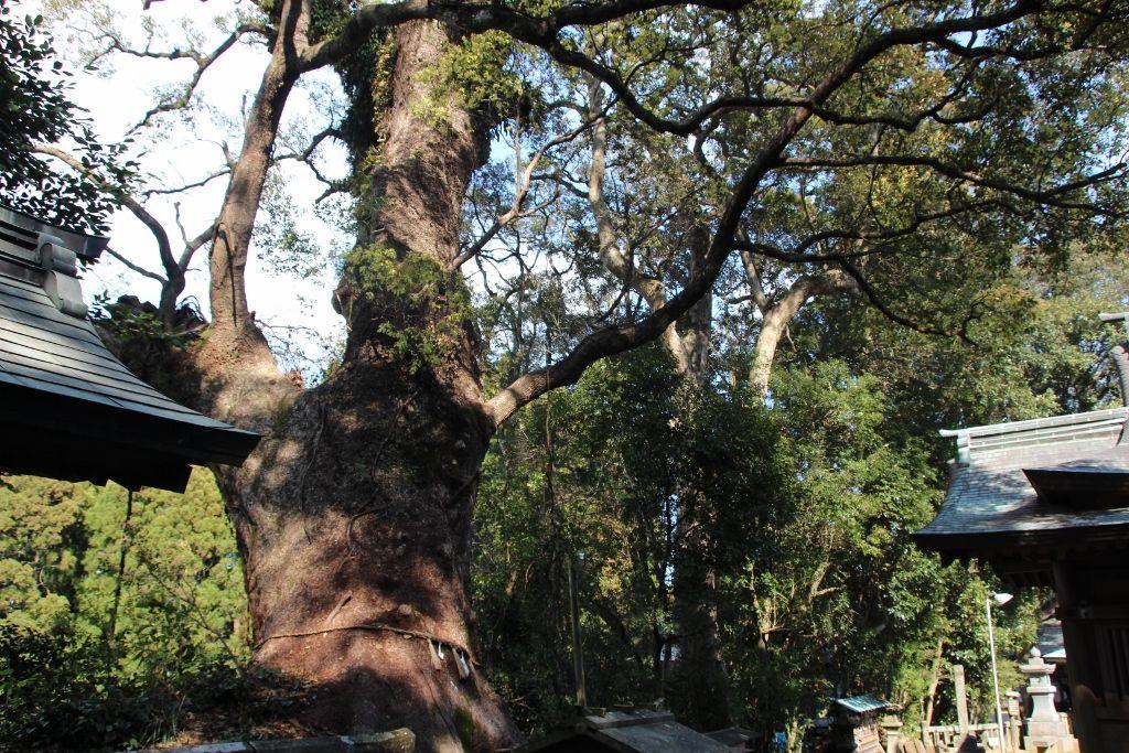 米3石8斗で生き残った強大なパワーを感じる生目神社の巨木