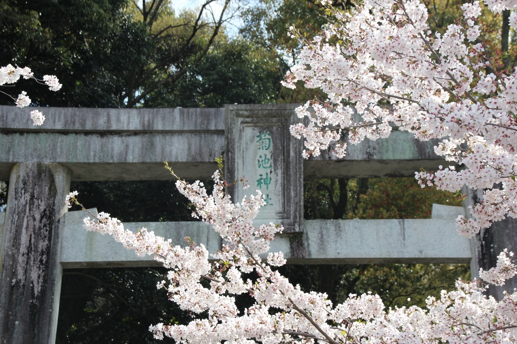 菊池神社参道の桜のトンネルにワクワク!