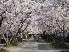 桜づくしの筑前の小京都 福岡朝倉市「秋月」の春