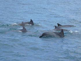 熊本・天草のイルカウォッチング「シークルーズ」は98%イルカに会える!?
