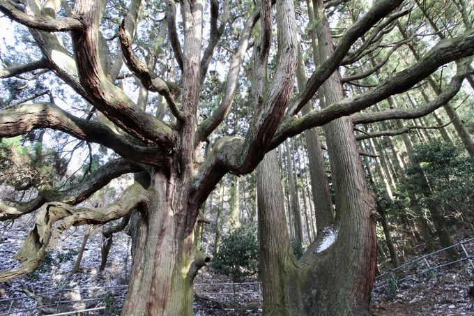 高森殿の杉にご対面!