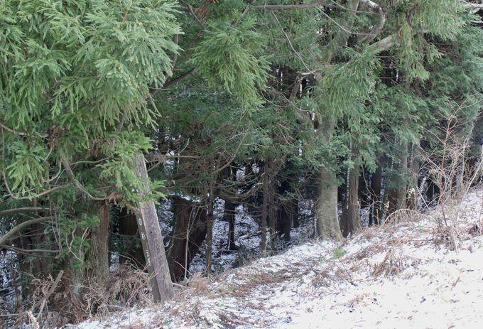 放牧地の中にたたずむ巨樹
