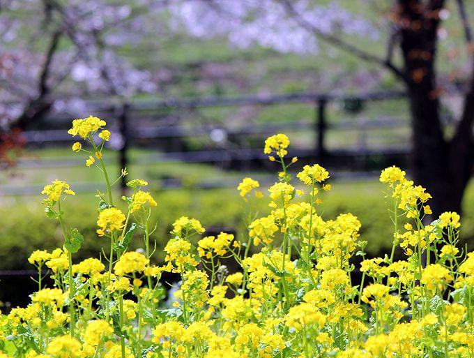 春の奈良、明日香村サイクリングで菜の花スポット巡り!