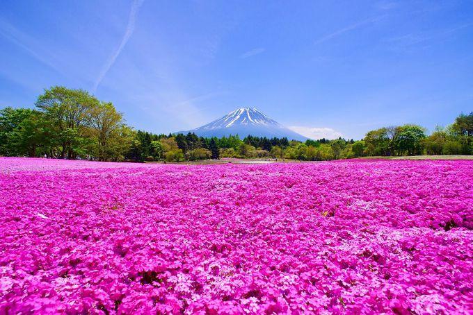 【3】富士芝桜まつり(山梨)