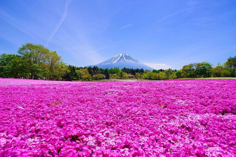 GWが見頃「富士芝桜まつり2019」は富士山とお花畑が絶景コラボ!