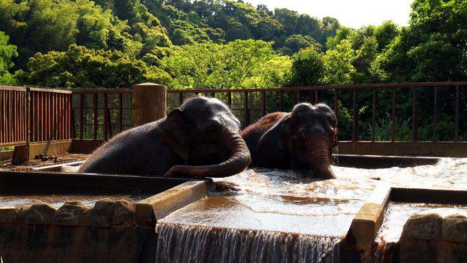 ゾウのトレーニングは迫力満点!