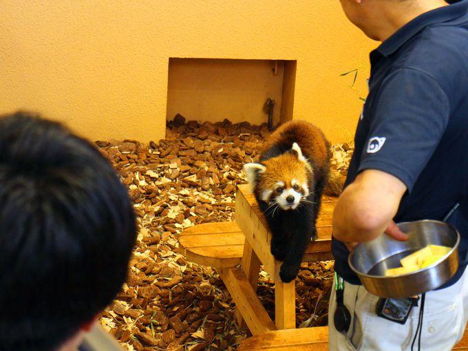 行動展示でレッサーパンダに近づきすぎる!