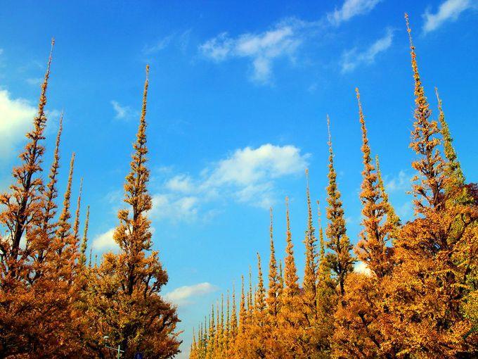 東京の金色の紅葉、明治神宮外苑のイチョウ並木