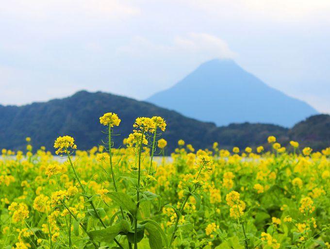 池田湖で開聞岳と菜の花を撮影するベストポイントはここだ!