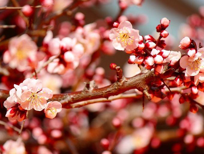 湯島天神は東京の梅の名所