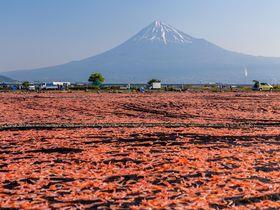 静岡「桜えび天日干し場」絶景?珍景?桜えびと富士山の絶妙コラボ
