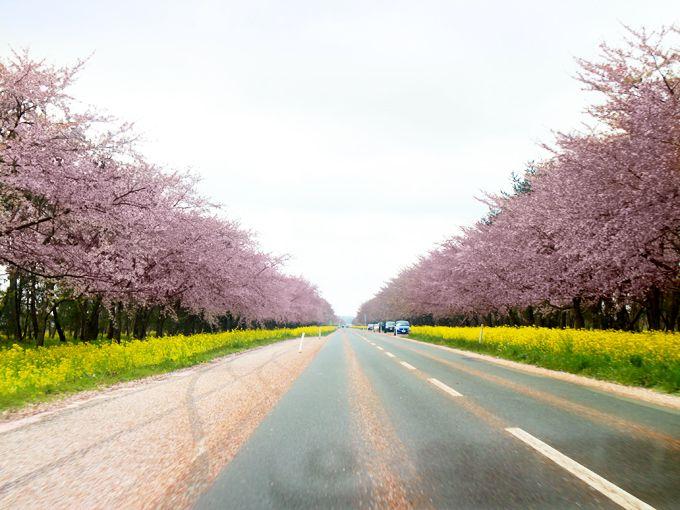 4.菜の花ロードの桜並木/大潟村