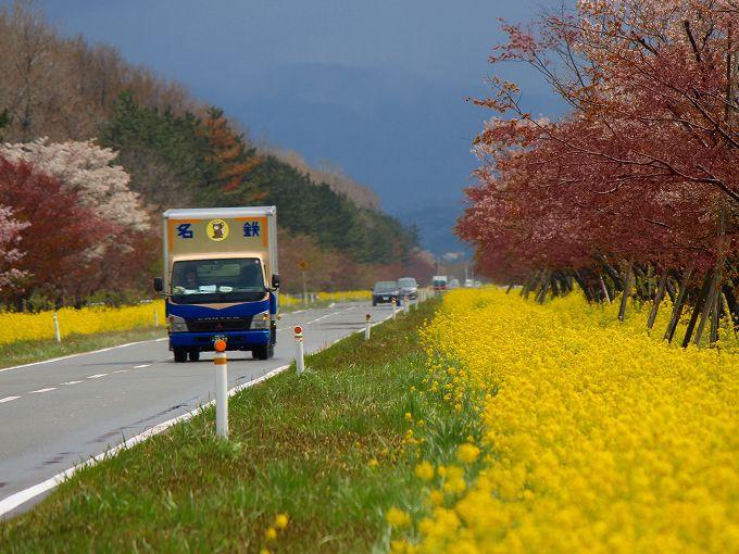 大潟村の桜並木と菜の花ロード、見頃の時期と駐車場について