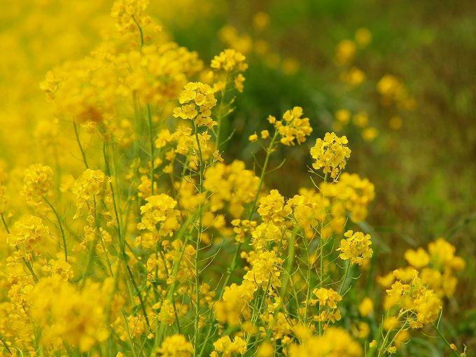 大潟村の春のドライブ「菜の花ロード」の場所はここ!