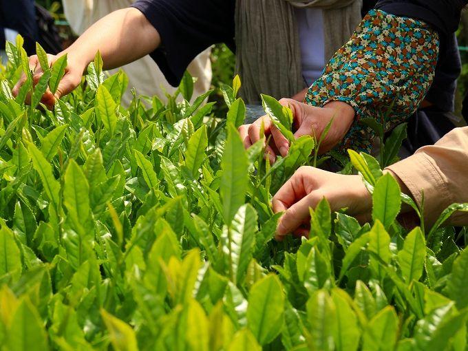日本平お茶会館でお茶摘みを体験しよう!