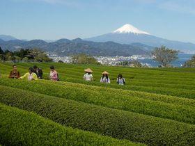 富士山バックにワンコイン茶摘み体験!静岡「日本平お茶会館」