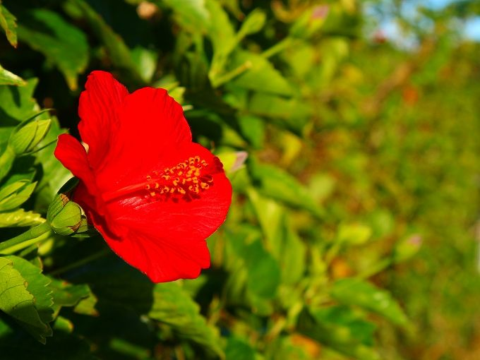 冬の八丈島の花