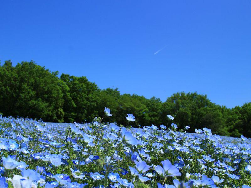 埼玉のネモフィラ畑なら!花いっぱいの国営武蔵丘陵森林公園へ