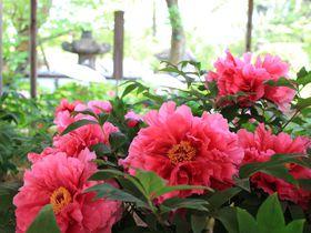 牡丹×江戸情緒の粋!上野東照宮ぼたん苑・春のぼたん祭