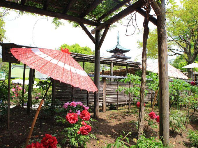 フォトジェニックなぼたんなら、上野東照宮のぼたん苑