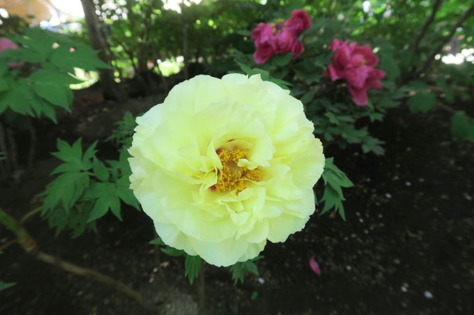 上野東照宮ぼたん苑で珍しいぼたんを探してみよう