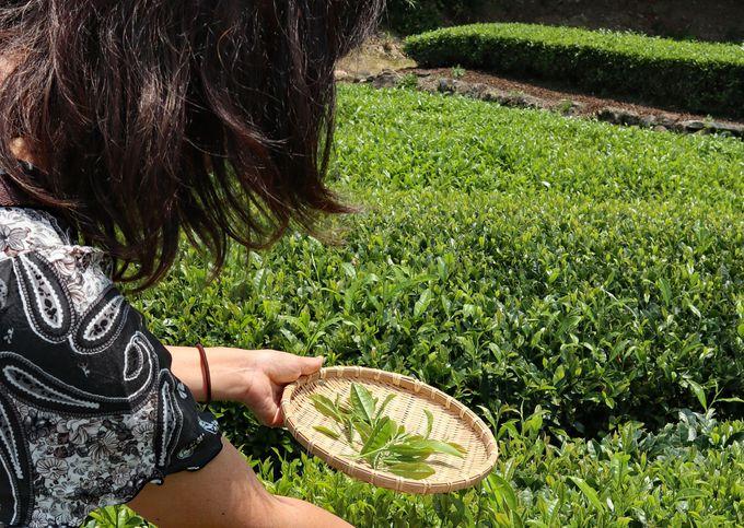 午前:「チャオシル」は、うれしの茶を知る観光スポット
