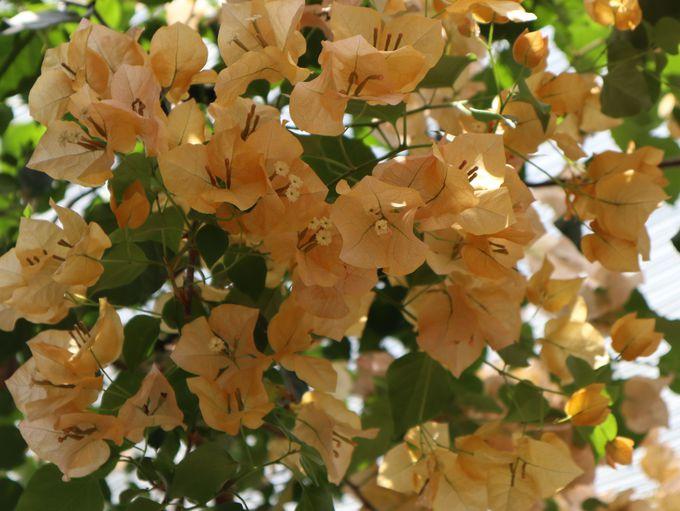 昼:ブーゲンハウス嬉野で美しい花に囲まれて