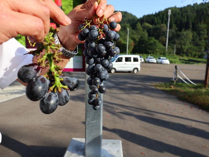 「小坂七滝ワイナリー」のこだわり日本ワイン