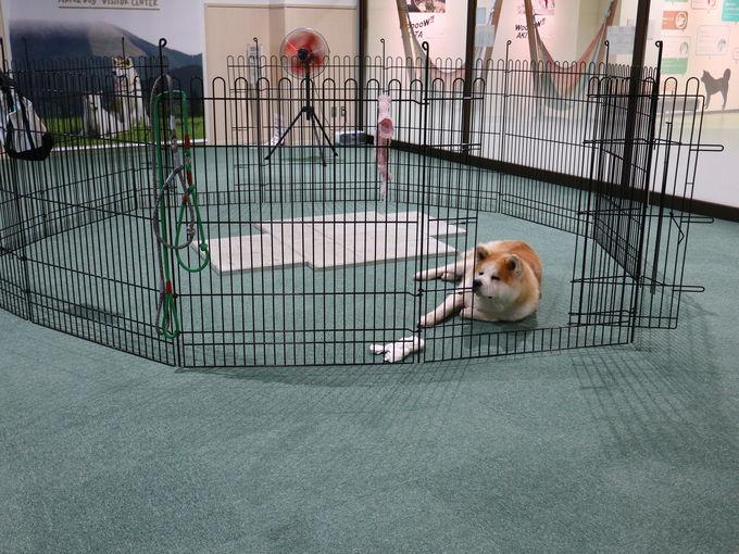本物の秋田犬に会える「秋田犬展示室」
