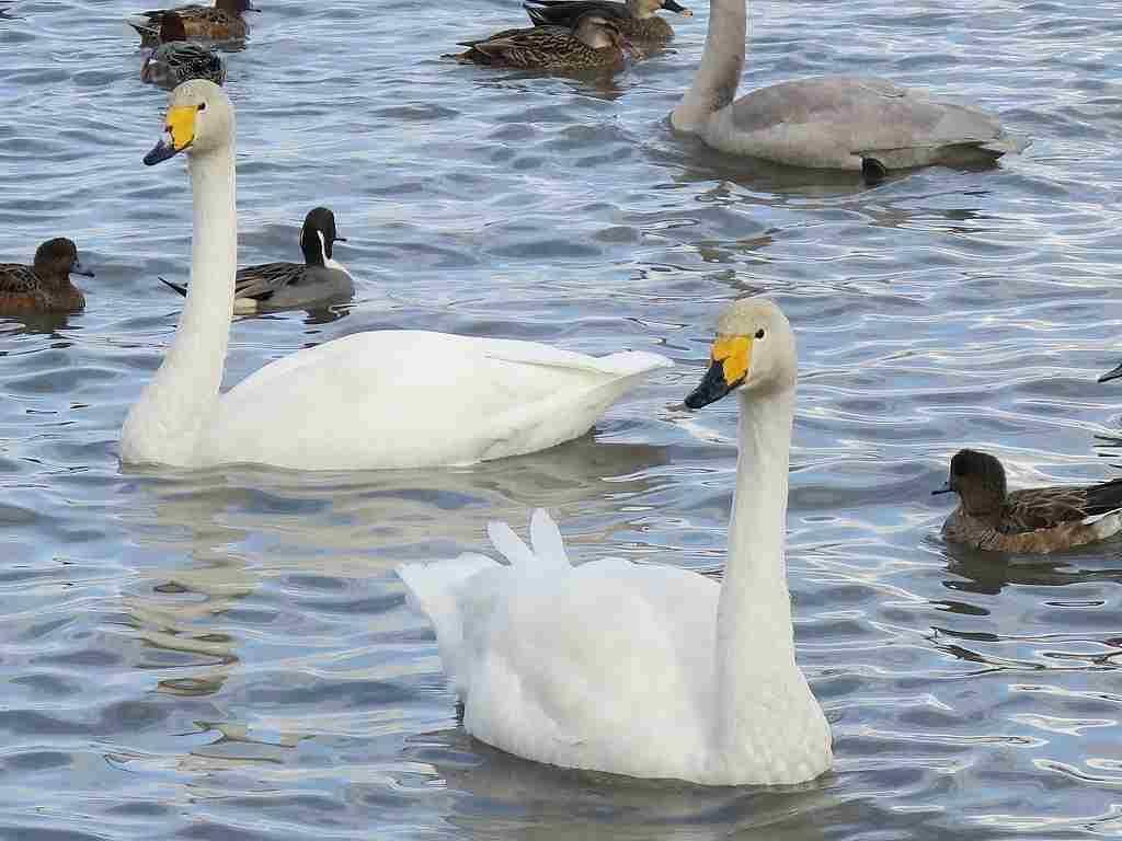 美しい白鳥が舞い降りる!エサやりも面白い「瓢湖」