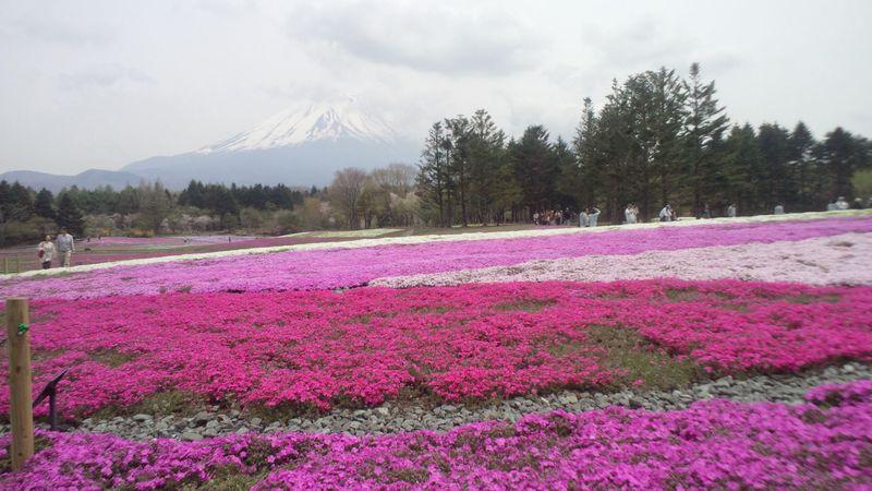 山梨「富士芝桜まつり2015」に行くなら直通バスがおススメ!!