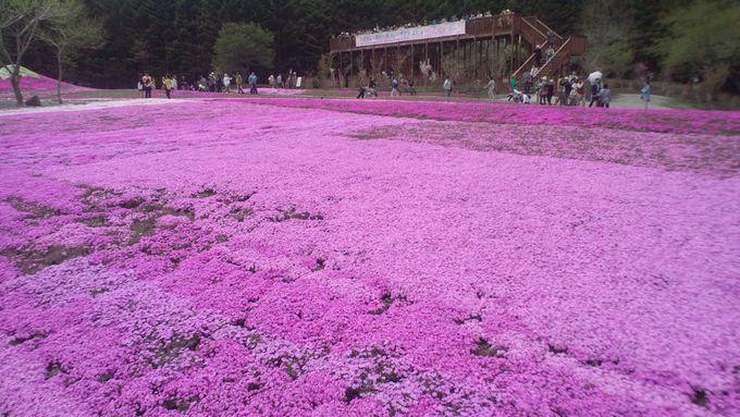 爽やかな「芝桜の香り」を満喫できる