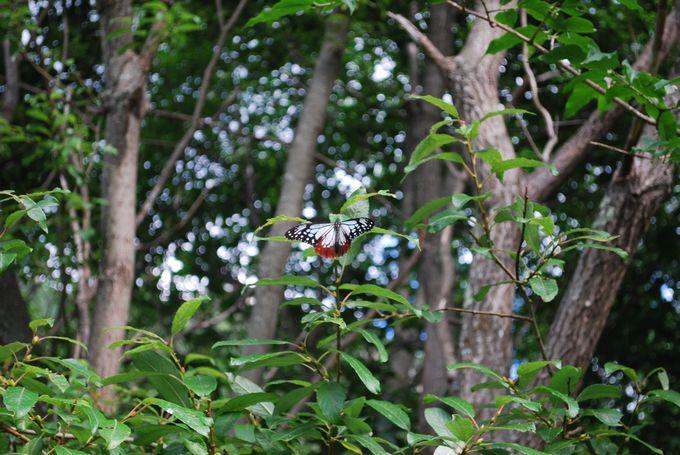 驚異の飛翔を誇る「アサギマダラ」も生息している