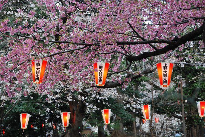 ソメイヨシノの他にもいろいろな種類の桜もたくさん愛でよう