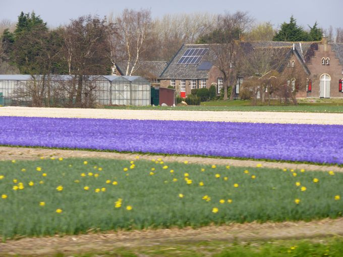 キューケンホフ公園までの道のりも春のオランダ旅の楽しみ